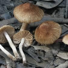 Golden mammoth mushroom online